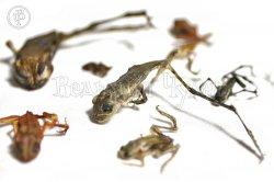 Лягушки сушеные